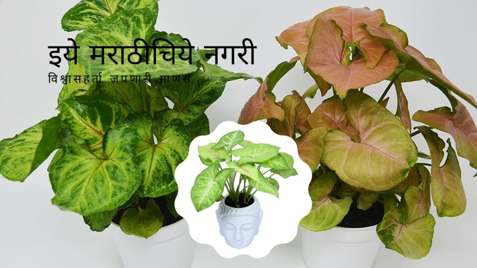 Sing onium Varieties and Cultivation Smita Patil Guidelines