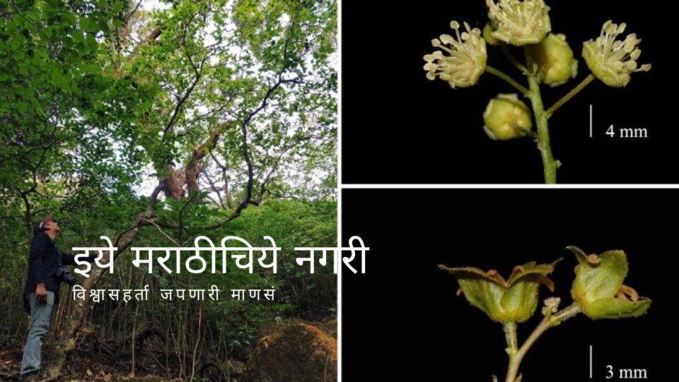 Croton gibsonianus Plant On seen in Maharashtra