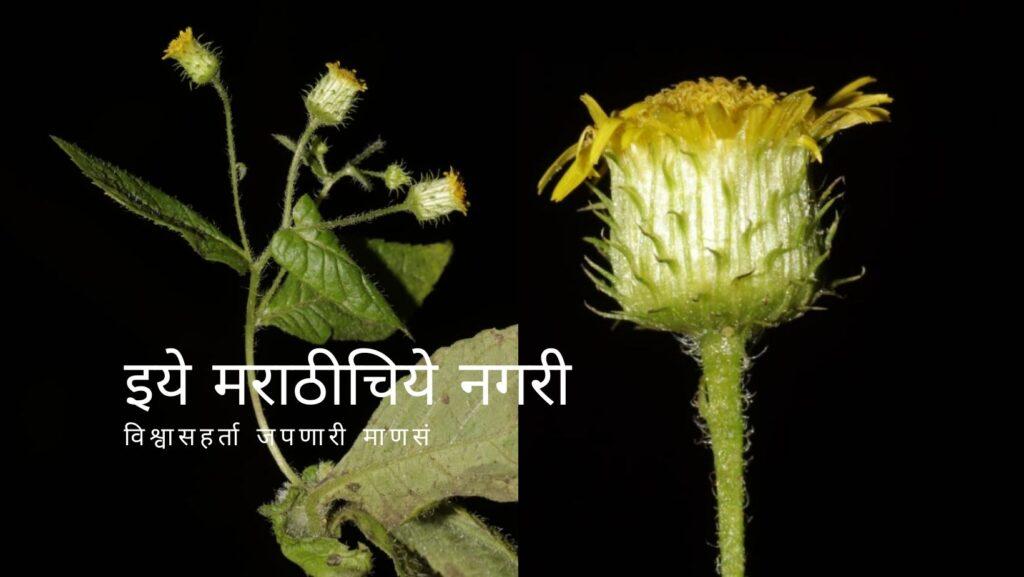 discovery-of-vicoa-cernua Pinda concanensis by Mayur Nandikar