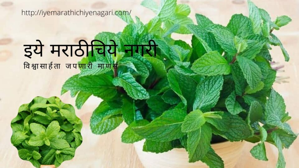 Tips To Grow Green And aromatic Pudina